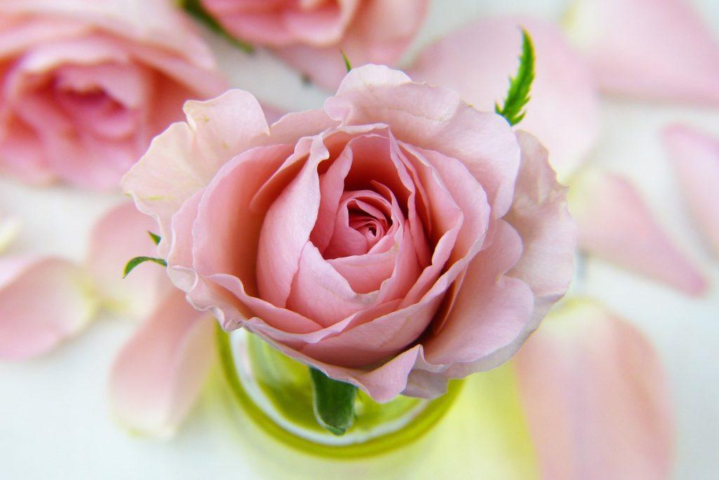 キレイなピンクのバラ
